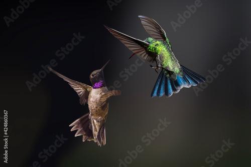 Tablou Canvas Black-chinned Hummingbird and Broad-Billed Hummingbird in a Territorial Dispute