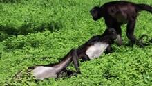 Geoffroy's Spider Monkey Relaxing With Friends In Czech Zoo 4k