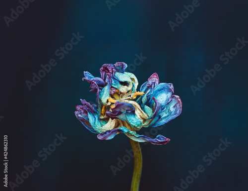 Wilted tulip flower on a dark background. Bright blue and purple petals Wall mural