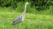 Grey Heron Stalking In Grass. Graureiher Stelzt In Gras 4k 50p