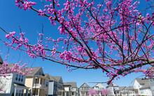 Blooming Eastern Redbud Tree In Residential Neighborhood