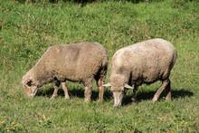 Domestic Sheep (Ovis Aries Aries)