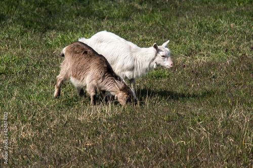 Young goats. (Capra aegagrus hircus. ) Fototapet