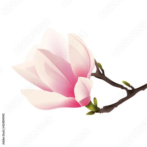 Fototapeta Rozkwitająca magnolia. Ręcznie rysowany kwiat w kolorze bladego różu z gałązką na białym tle. obraz