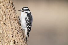 Female Downy Wood Pecker Looking For Insects In Bark Of Big Gnarly Tree Bark