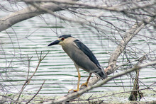 Black-Crowned Night Heron Standing On A Branch