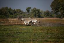 Zebra Family In Okavango Delta Of Botswana, Southern Africa.