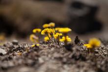 Yellow Flowers On The Ground - Tussilago Farfara