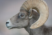 Profile Shot Of Desert Bighorn Sheep Ram Closeup