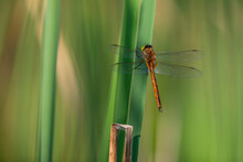Green-eyed Hawker Dragonfly Sits On A Leaf Of A Reed. Photography Of Aeshna Isosceles In Its Natural Environment.