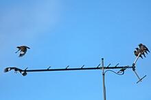 Indian Minor - Bird On TV Antenna