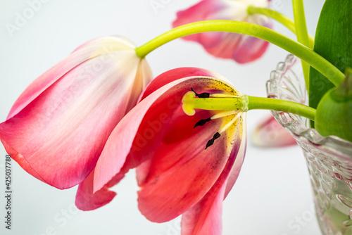 Fotografie, Obraz tulipes rouges, pistil et étamines