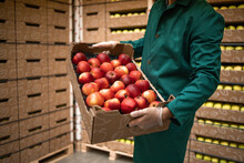 Close Up View Of Unrecognizable Worker Holding Crate Full Of Red Apples In Organic Food Factory Warehouse.