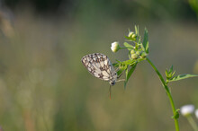 Marbled White, Black And White Butterfly In The Wild