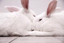 Um Casal De Coelhos Brancos, Peludos, Descansando Juntinhos.