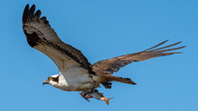 Osprey Fishing And Catching Fish