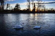 Beautiful Swans On The River At Sunset