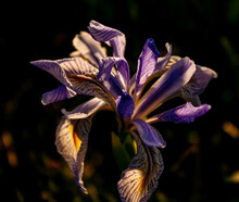Dramatic Shot Of A Purple Wild Iris Getting Hit By The Golden Hour