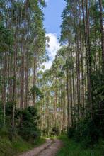 Dirt Road Between Eucalyptus Plantation