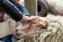 Tame Sheep Enjoys A Pet From Visitors Of The Petting Zoo On A Farmyard And Is Outdoor Fun On Countryside For Family And Children For A Happy Childhood With Lambs And Other Pets On An Animal Farm