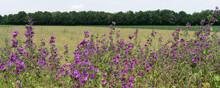 Wild Common Mallow Blossom Marginally On The Grain Field
