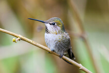 Annas Hummingbird On Winter Branch Seen In Close Up.  These Birds Are Year Round Residents Of The Seattle Area Due To The Presence Of Bird Feeders