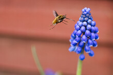 Bee,flower,flying,insect,spring,febe,garden,bee On Flower,grape Hyacinths,muscari