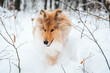 Młody Owczarek szkocki zimą, lassie w śniegu, collie rough szczeniak