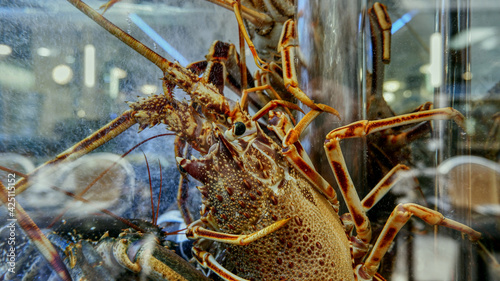 Canvas In seafood restaurants, live lobsters are kept in aquariums so that they are per
