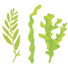 Three Types Of Algae Isolated On White Background. Marine Flora. Aquatic Plants. Botanical Illustrations. Vector Flat. Laminaria. Fucus. Sargassum.