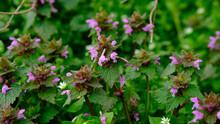 Lumium Purpureum Plant In Color