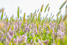 Blurred Beautiful Summer Background Fields Of Herb, Pink Flowers And Spikelets In Selective Focus. Spring Field Close Up. Spring Time