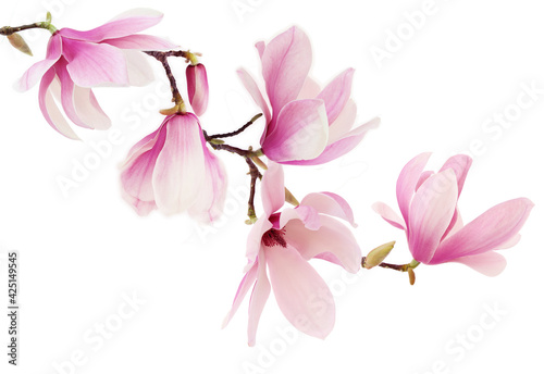 Leinwand Poster Pink spring magnolia flowers branch
