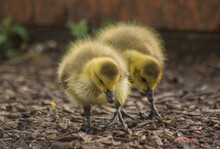 Two Synchronized Baby Duck On The Ground