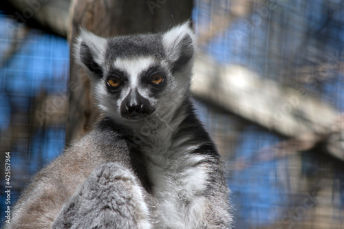 Fototapeta premium this is a close up of a ring tail lemur