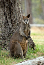 The Swamp Wallaby Is A Large Wallaby