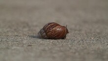 Giant African Land Snail Coming Out From Its Gastropod And Crawling On The Concrete Surface.