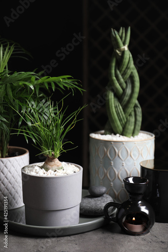 Obraz Beautiful Sansevieria, Nolina and Chamaedorea in pots with decor on grey table. Different house plants - fototapety do salonu