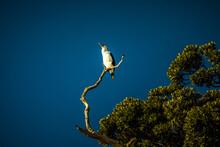 Australasian Gannet In Early Morning Sun