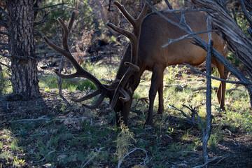 Wild animal white-tailed deer fawn. Roe deer, capreolus. Beautiful wildlife buck.