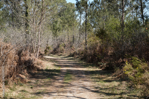 Obraz Beautiful path though in woodland forest pathway in pine trees in hostens Gironde France - fototapety do salonu