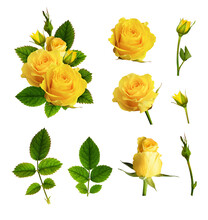 Set Of Yellow Rose Flowers, Buds, Leaves And Example Of Arrangement