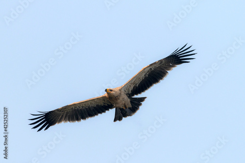 Canvas Print The tawny eagle is a large, long-lived bird of prey
