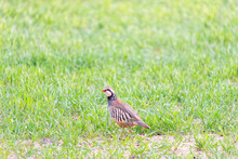 A Red-legged Or French Partridge Rests Among The Green Grass Of A Spring Crop. Taken In Burgos, Spain, In April 2021.