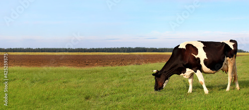 Fotografia, Obraz rural landscape with a cow chewing green grass against the background of the forest and sky