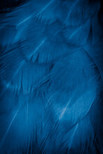 Macro Photo Of Blue Hen Feathers. Background Or Textura