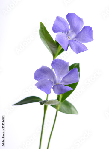 Photo Purple periwinkle flowers on a white background.