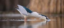 Black Crowned Night Heron Eating A Big Fish On A Lake.