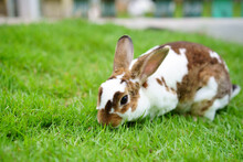 White Brown Wild Rabbit Alone On Meadow And Nature Green Grass Or Lawn In Garden Or Farm At Home For Little Rabbit Pet And Animal Life Background