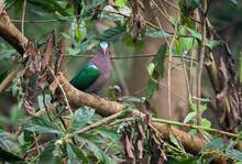 Emerald Dove In The Jungle